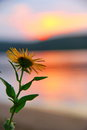 Wild flower on the sunset background Royalty Free Stock Photo