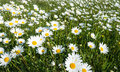 Wild flowering oxeye daisies in a meadow closeup of plenty of blooming common the spring season Stock Photo