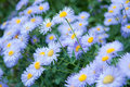 Wild Flowers - Blue Asters Royalty Free Stock Images