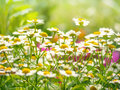Wild flowers chamomile field daisy plant sunlight summer spring Royalty Free Stock Photo