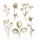 Wild flowers collection isolated on white background pencil drawing illustrations Royalty Free Stock Photo