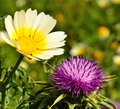 Wild flowers of daisy and milk thistle silybum marianum in full bloom on unfocused green background Stock Photography