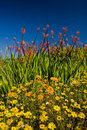 Wild flowers growing at caledon s botanical garden western cape south africa Royalty Free Stock Image