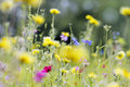 Wild flowers meadow Royalty Free Stock Photo