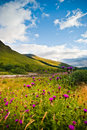 Wild flowers on mountains hill, Scotland Royalty Free Stock Photo