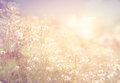 Wild flowers and plants dandelions in sunlight Royalty Free Stock Photo