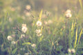 Wild flowers and plants dandelions Royalty Free Stock Photo