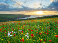 Wild flowers at porth joke cornwall sunset over a field of poppies and above beach near newquay england uk europe Stock Photo