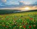 Wild flowers at porth joke cornwall sunset over a field of poppies and above beach near newquay england uk europe Royalty Free Stock Photo