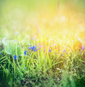 Wild Forget me not flowers in spring grass on sunny nature background with bokeh