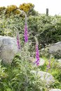 Wild fox glove plants Royalty Free Stock Photo