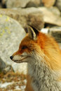 Wild fox profile Stock Images