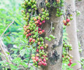 Wild fruits in asia rain forest Stock Photography
