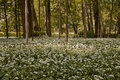 WILD GARLIC Stock Image