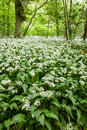 Wild garlic a carpet of growing in spring woodland uk Royalty Free Stock Photos