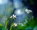 Wild garlic flowe Royalty Free Stock Images