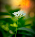 Wild garlic flower Stock Photos