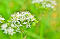 Wild garlic flowers on light morning Royalty Free Stock Photo