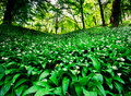 Wild garlic forest Stock Photos