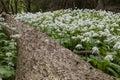Wild garlic in woodland flower on the forest floor Stock Image