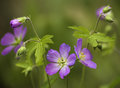 Wild Geranium (geranium maculatum) Royalty Free Stock Photo