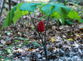 Wild Ginseng with Berries Royalty Free Stock Photo