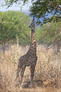 Wild Giraffe Royalty Free Stock Images