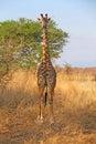 Wild Giraffe Royalty Free Stock Photo
