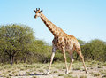 Wild giraffe in african savann Royalty Free Stock Photography