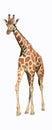 Wild giraffe isolated white background