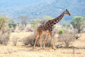 Wild giraffe kenya africa Stock Photos