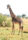 Wild giraffe in kenya africa Royalty Free Stock Photos