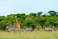 Wild giraffes in the savanna kenya Royalty Free Stock Photos