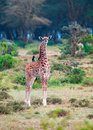 Wild giraffes in the savanna young giraffe africa Royalty Free Stock Photos