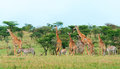 Wild giraffes in the savanna and zebras kenya Stock Photography