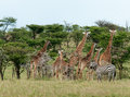 Wild giraffes in the savanna and zebras kenya Royalty Free Stock Photos