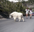 Wild goat crossing the road Stock Images