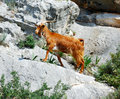 Wild goat, greece Royalty Free Stock Photo