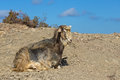 A wild goat in greece sitting on the ground Royalty Free Stock Photography