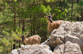 Wild goats kri-kri in Samaria Gorge. Royalty Free Stock Images