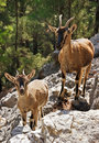 Wild goats kri-kri in Samaria Gorge Royalty Free Stock Photography