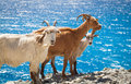 Wild goats Royalty Free Stock Photo