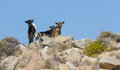 Wild goats in Milos island, Greece Stock Images
