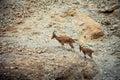 Wild goats Royalty Free Stock Photo
