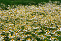 Wild gold chamomile field Stock Photos