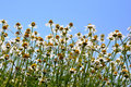 Wild gold chamomile field under the blue sky Stock Photo