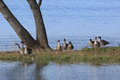 Wild goose by the lake pictured bean gooses and swan at biwa in japan Stock Photo