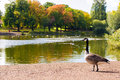 Wild goose in park by the lake the Stock Images