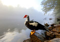 Wild goose sitting on a rock on the shore of a misty mornign river Royalty Free Stock Photos