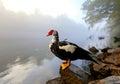 Wild Goose Sitting On A Rock O...